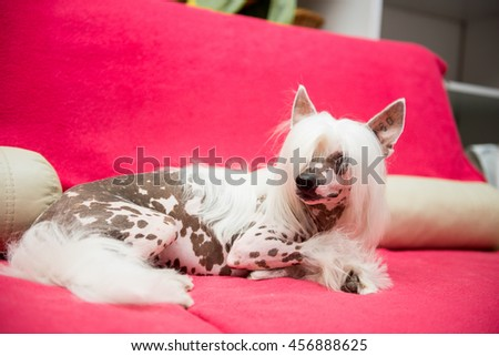 Dog lying on the sofa. Dog breed Chinese crested on a red couch.