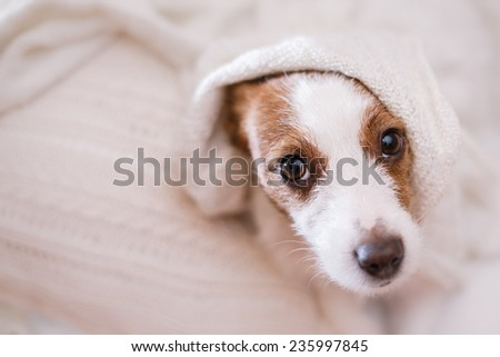 dog lying, sad looks, plays - stock photo