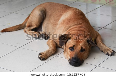 dog lying with head down and looking - stock photo