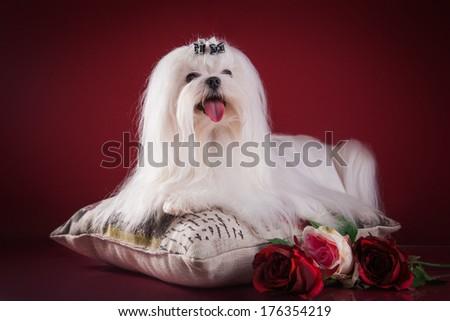 Dog, Maltese, in the interior - stock photo