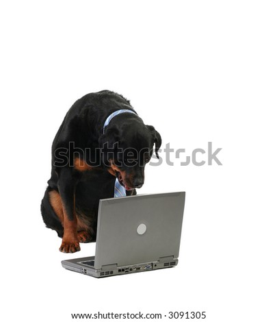 dog monitoring the computer, isolated on white