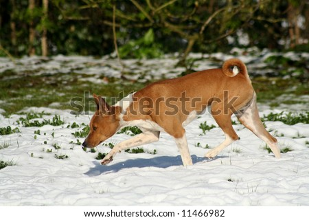 dog, nose to the ground, exploring melting snow at speed - stock photo