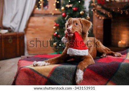 Dog Nova Scotia Duck Tolling Retriever holiday, Christmas and New Year - stock photo