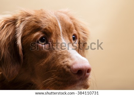 Dog Nova Scotia Duck Tolling Retriever, portrait  on a studio color background - stock photo