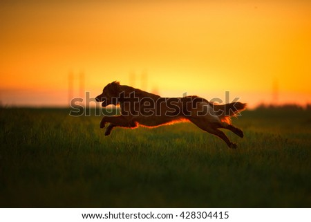 Dog Nova Scotia Duck Tolling Retriever walking in a field in summer, sunset - stock photo