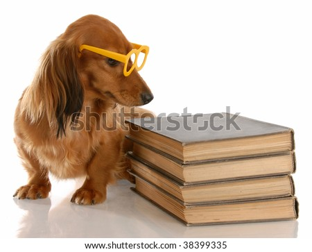 dog obedience - miniature dachshund sitting beside stack of books - stock photo