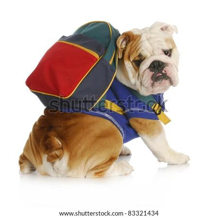 dog obedience school - english bulldog wearing blue shirt and matching back pack looking at viewer - stock photo