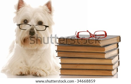 dog obedience - west highland white terrier laying down beside stack of books - stock photo