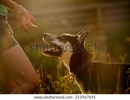 dog obidient - stock photo