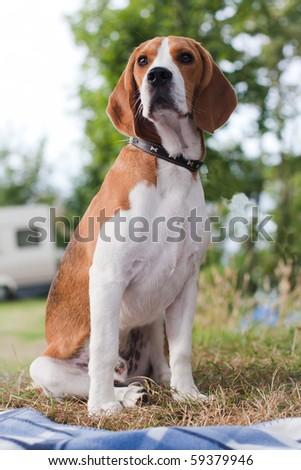 Dog of beagle breed sitting outdoor - stock photo