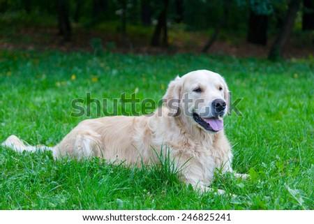 Dog of breed a golden retriever lies on a green grass - stock photo