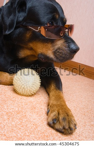 Dog of breed a Rottweiler against snow 7 years/ - stock photo