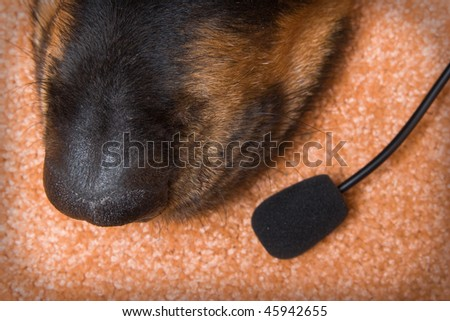 dog of breed a Rottweiler. Nose of dog and microphone on beige background - stock photo