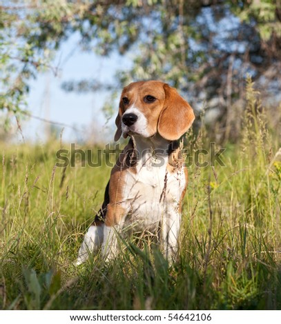 Dog of breed Beagle in the forest - stock photo