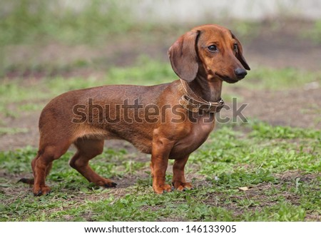 Dog of breed  flat-coated  dachshund on a natural background  - stock photo