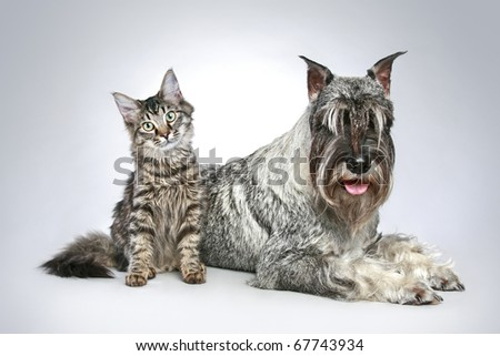 Dog of breed  mittel schnauzer with a small kitten on a grey background - stock photo