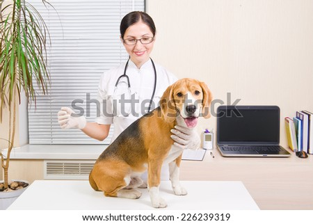 Dog of breed of Beagle at the vet - stock photo