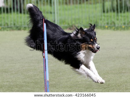Dog of breed of the Sheltie at training on agility