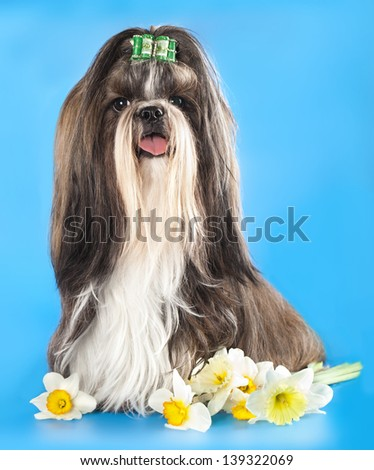 Dog of breed shih-tzu and  flower - stock photo
