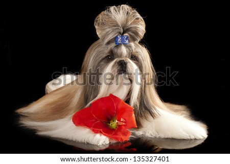 Dog of breed shih-tzu and red flower - stock photo