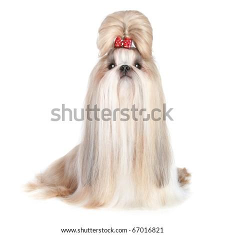 Dog of breed shih-tzu on white background - stock photo