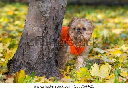 Dog of breed the Brussels griffon sits in a park in autumn. - stock photo