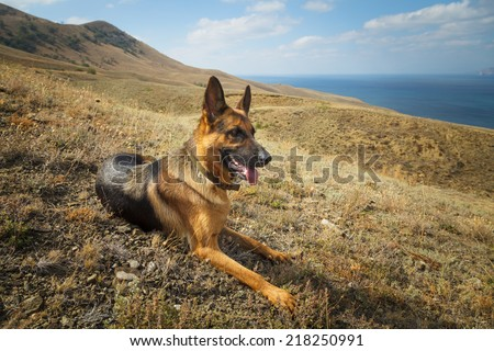 Dog of breed the sheep-dog. German shepard looking. Walks by the nature in mountains. Photographed in cloudy day.