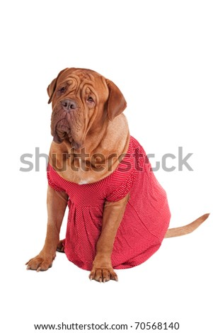 Dog of Dogue De Bodeaux Beed sitting with red romantic dress of polka-dot design isolated on white background - stock photo