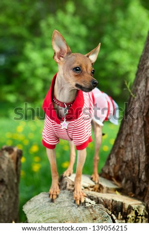 Dog of That the Terrier in a beautiful dress on walk - stock photo