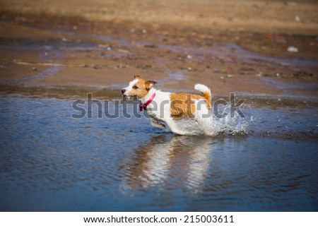 Dog of the sea, swimming, jumping. Jack Russell Terrier - stock photo