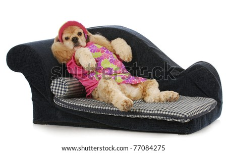 dog on a couch - american cocker spaniel female lounging on a sofa - stock photo