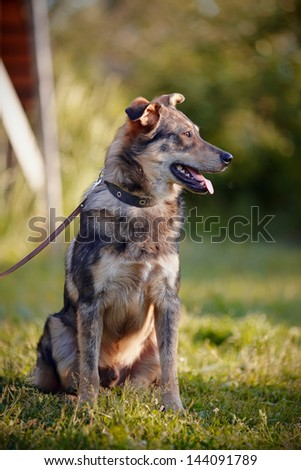 Dog on a grass. Not purebred dog. Doggie on walk. The large not purebred mongrel. - stock photo