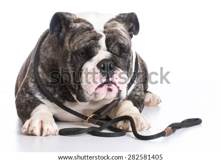 dog on a leash - bulldog wearing a slip lead laying down on white background - stock photo
