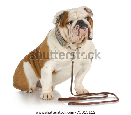 dog on a leash - english bulldog sitting wearing collar and leash on white background - stock photo