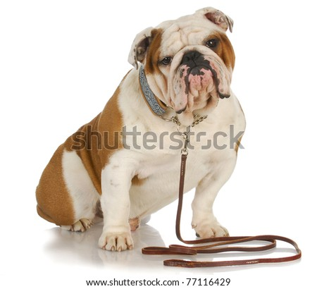 dog on a leash - english bulldog sitting wearing leash and collar - stock photo