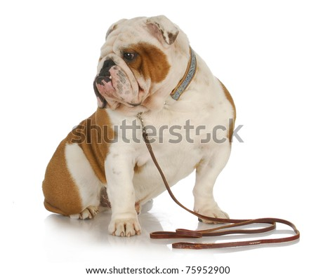 dog on a leash - english bulldog wearing collar and leash on white background - stock photo