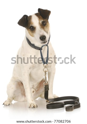 dog on a leash - jack russel terrier waiting to go for a walk on white background - stock photo