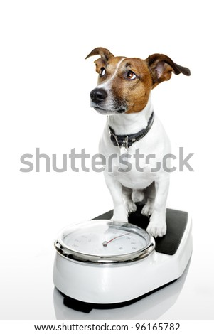 dog on a scale - stock photo