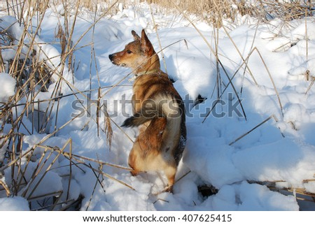 dog on a winter hunt - stock photo