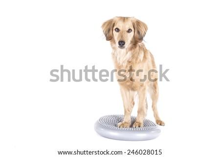 Dog on balance ball on white background - stock photo