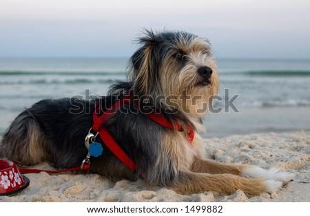 Dog on beach at sunset (gulf shores, al) - stock photo
