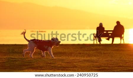 Dog on Beach, Sunset, Dog Sunlight, Dog Playing, Terrier - stock photo
