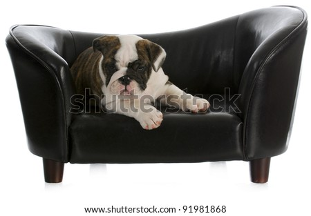 dog on couch - english bulldog puppy laying on dog couch with reflection on white background - stock photo