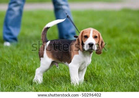 Dog on green meadow. Beagle puppy walking - stock photo