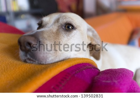dog on his couch with his nose resting on his blanket - stock photo