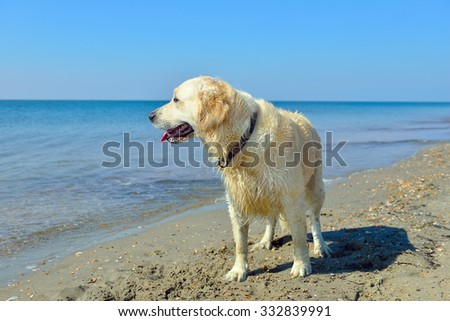 Dog on the beach near water. Golden retriever.