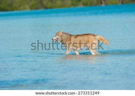 Dog on the beach. Siberian husky. - stock photo