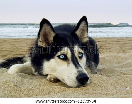 dog on the beach - Siberian Husky, close-up portrait - stock photo