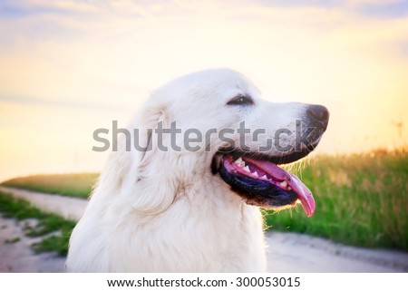 Dog on the field. Polish Tatra Sheepdog also known as Podhalan or Owczarek Podhalanski. Young adult - stock photo
