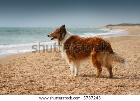 Dog on the lonely beach looking on faraway - stock photo